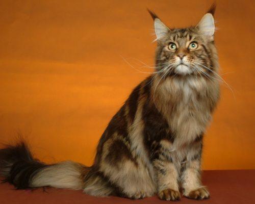 Коричневый кот породы мейн кун сидит на полу