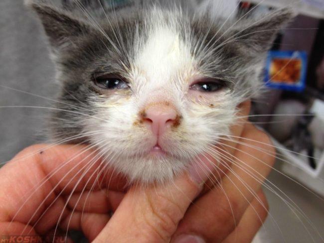 Котик с признаками микоплазмоза на мордочке