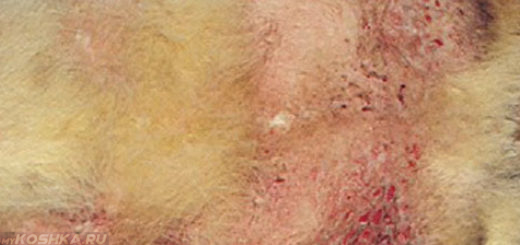 Милиарный дерматит у кошки на пузе