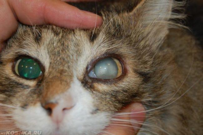 Мутный хрусталик у коричневой пушистой кошки