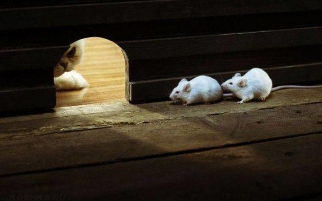 Две белые мышки в норке прячутся от белой кошки