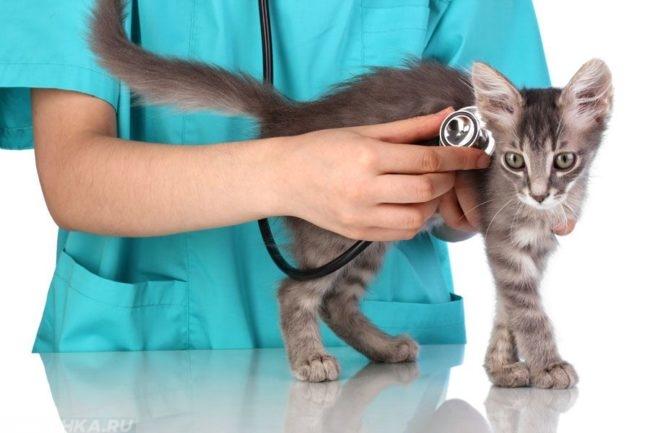Ветеринар слушает котика