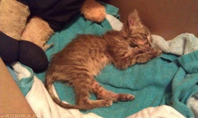 Простейшие у кошек: симптомы и лечение, опасность