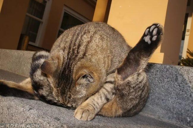 Коричневая полосатая кошка облизывающая свой живот