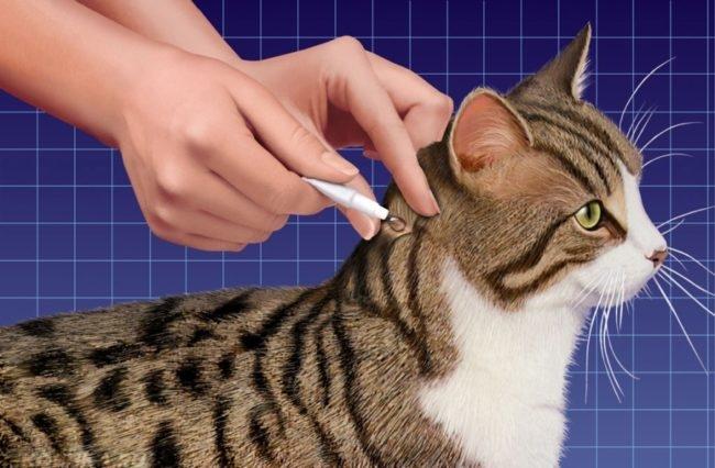 Коту наносят капли от блох