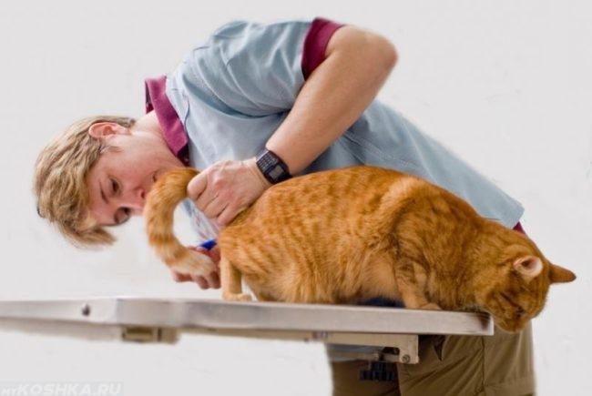 Врач осматривает рыжего кота