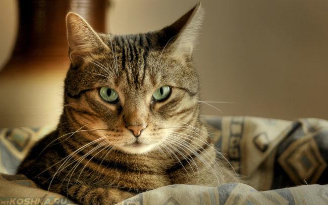 Зеленоглазая кошка смотрит в кадр