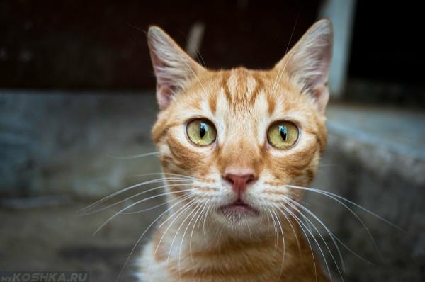 Рыжая кошка смотрит в кадр