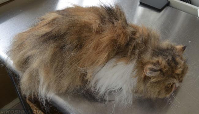 Кошка со всклокоченной шерстью