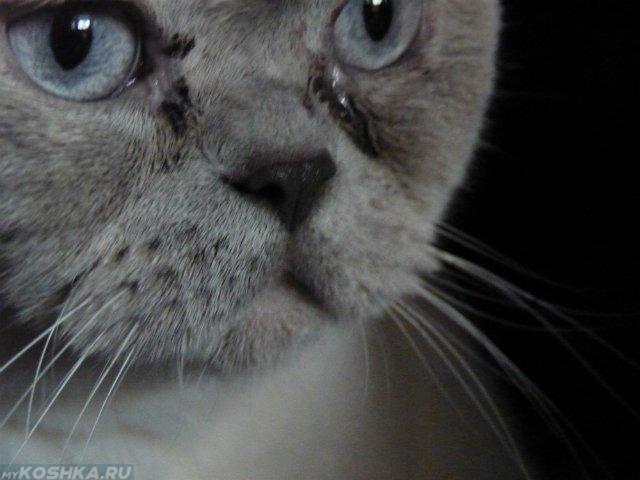 У серого кота выделения из глаз