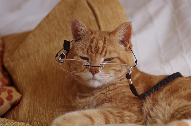 Рыжий кот в очках на цепочке