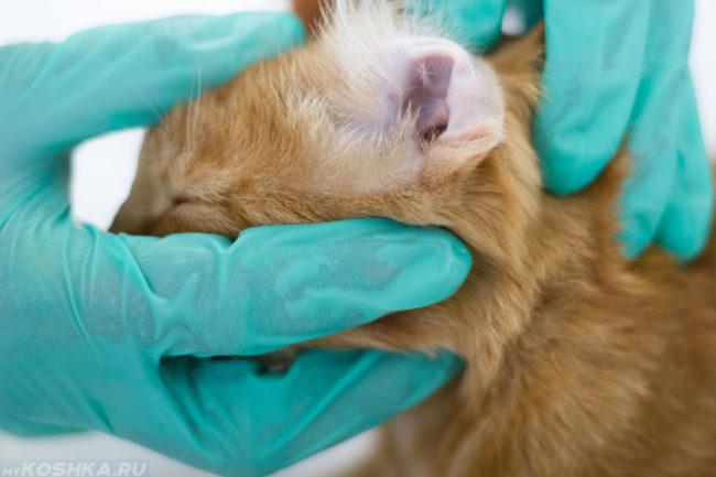 Проверка уха у рыжего кота в ветеринарной клинике