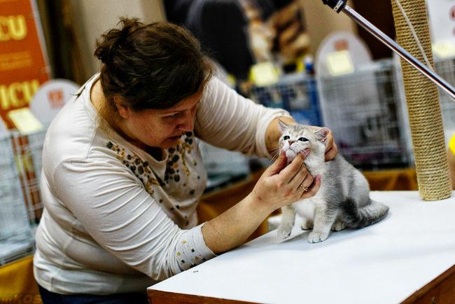 Женщина в светлой кофте осматривает серого кота касаясь его морды