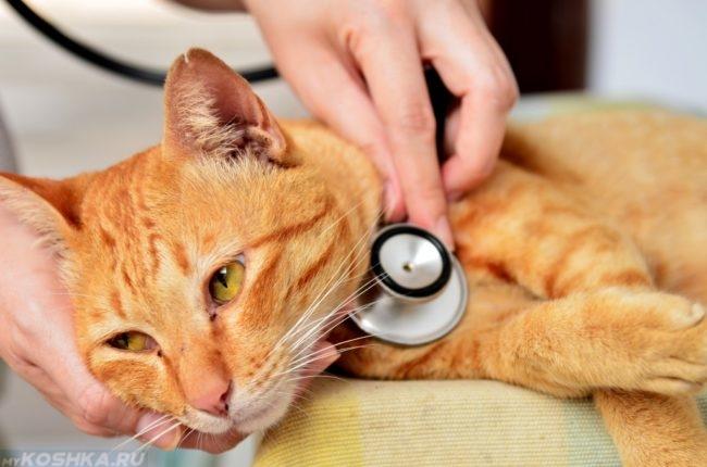 Осмотр больного рыжего кота