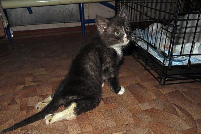 Чёрный с белым кот волочащий задние лапы по полу