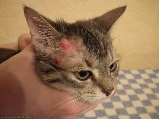 Кот с симптомами блошиной инвазии на голове