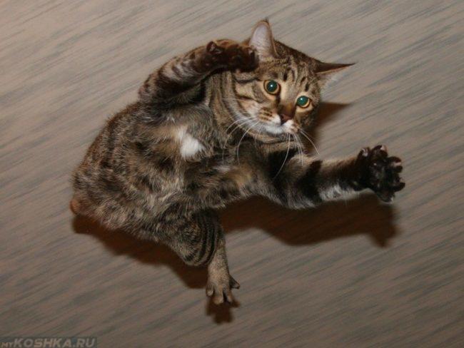 Коричневый полосатый кот в состоянии падения