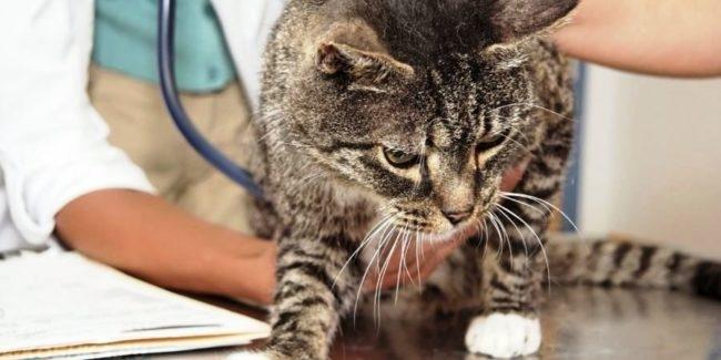Кот на приеме у ветеринара