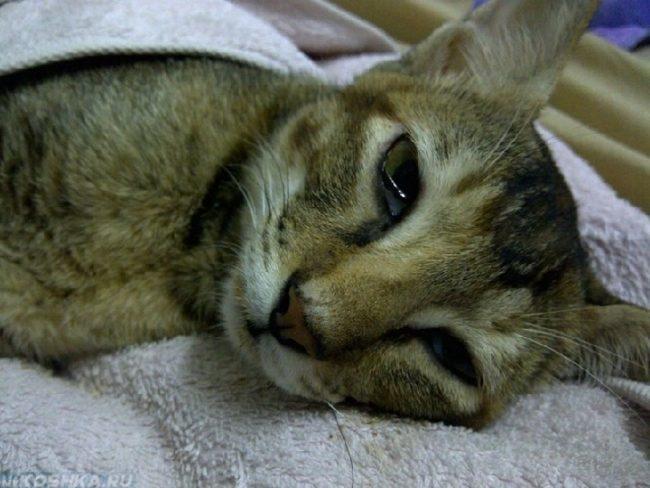 Коричневая кошка лежит на белом полотенце