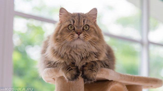Пушистый персидский кот сидит и смотрит вперед