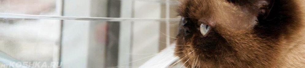 Персидская кошка смотрит в окно
