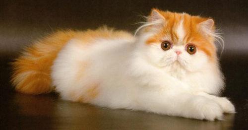 Рыжая с белым пушистая персидская кошка