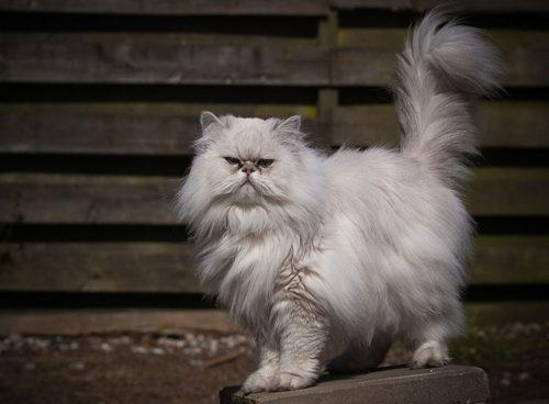 Белый пушистый персидский кот