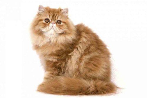 Рыжая персидская кошка на белом фоне