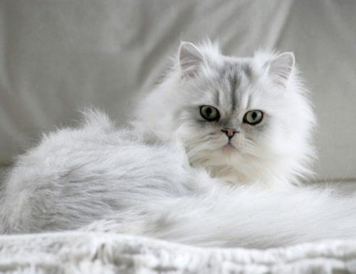 Белая пушистая персидская кошка на сером фоне
