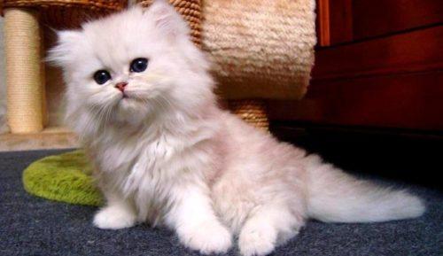 Белый пушистый персидский котенок
