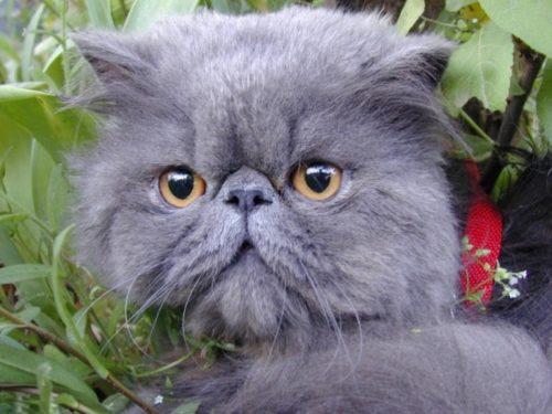 Серый пушистый персидский кот в зеленой траве