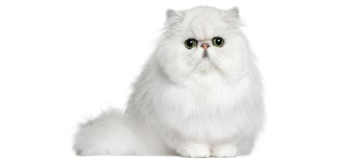 Белая пушистая персидская кошка на белом фоне