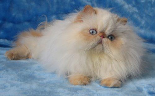 Пушистый персидский котенок на синем фоне