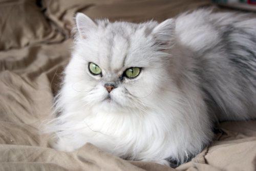 Белая пушистая персидская кошка