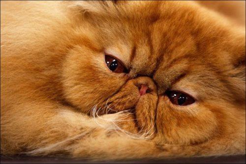 Морда пушистого персидского кота