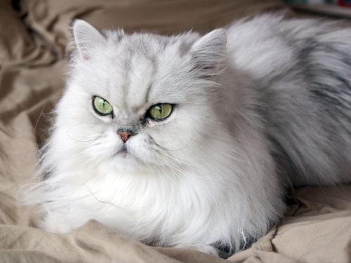Беля пушистая персидская кошка с зелеными глазами
