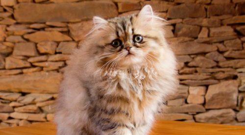 Пушистый персидский котенок