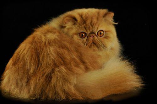 Рыжий пушистый персидский кот на черном фоне