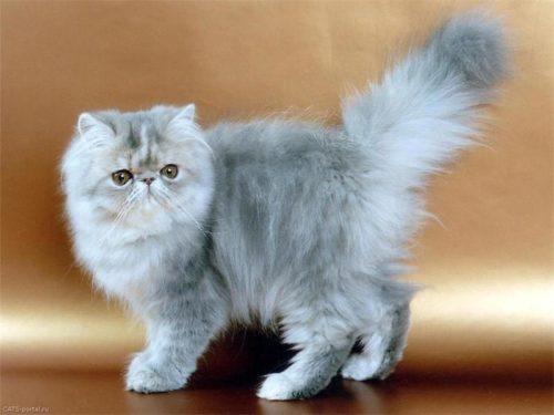 Серая пушистая персидская кошка