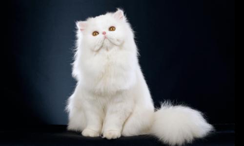 Белая пушистая персидская кошка на темном фоне