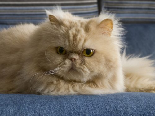Персидская кошка на синей поверхности