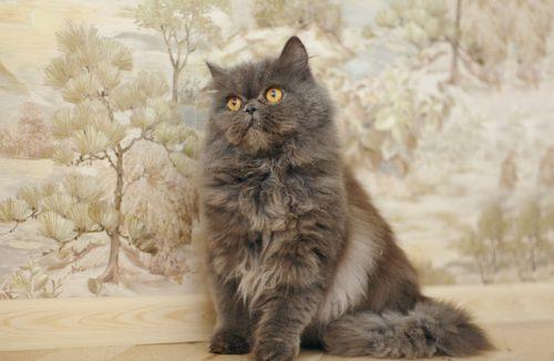 Серый пушистый персидский кот
