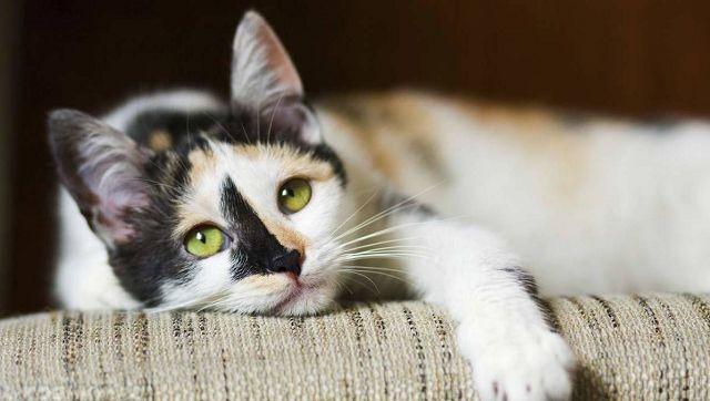 Разноцветный кот лежит свесив лапу