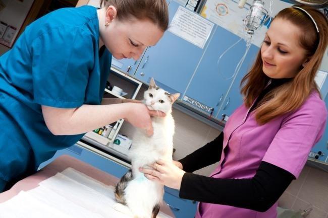 Кота осматривают два ветеринара