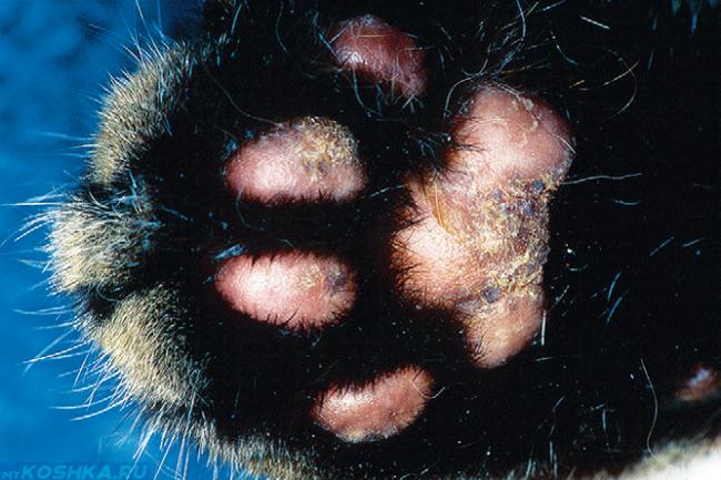 Подушечки лап кота с пододерматитом