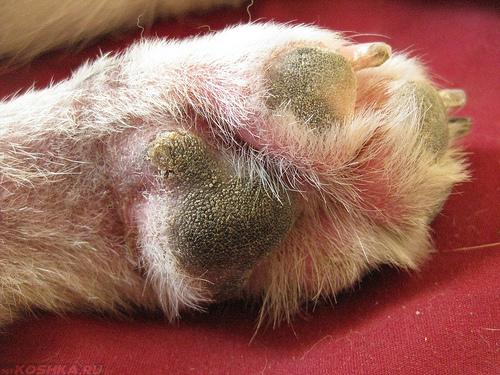 Подушечки пальцев кошки с грибковой инфекцией