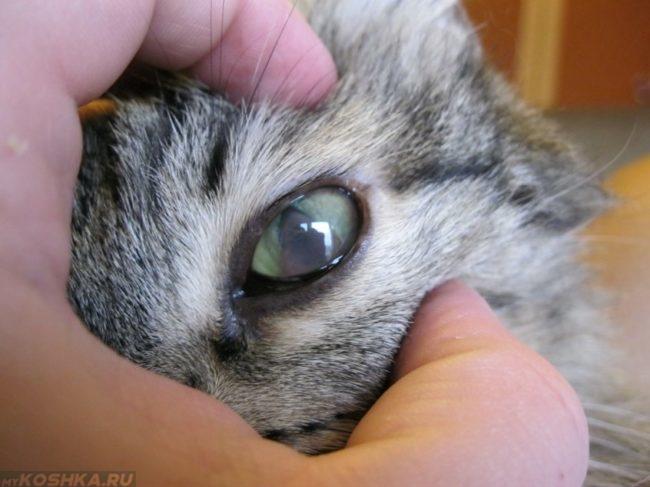 Помутнение глаза у серой полосатой кошки