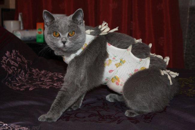 Послеоперационная попона у серой кошки