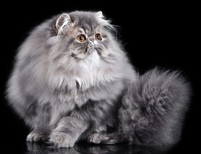 Пушистый серый персидский кот на черном фоне