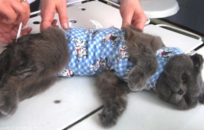 Серая кошка на столе в синей повязке после стерилизации